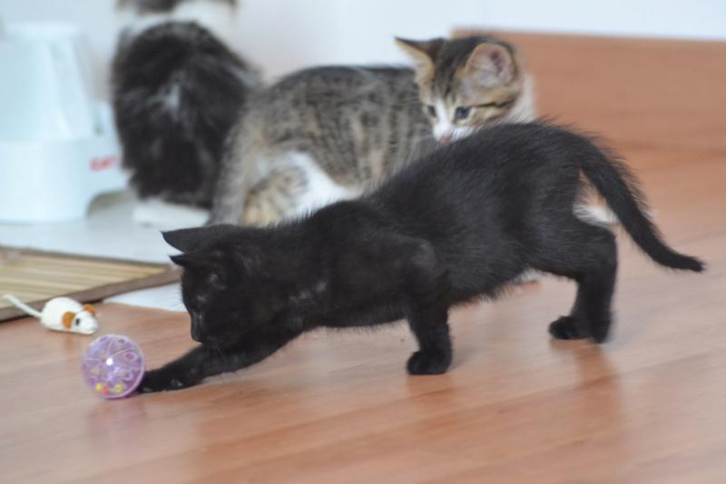 Oudini, chaton mâle noir, né le 12.04.2018 Dsc_0129