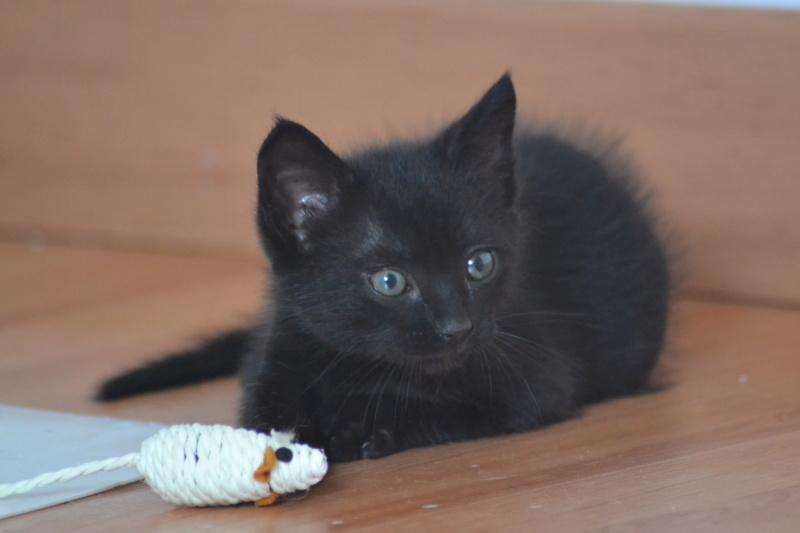 Oudini, chaton mâle noir, né le 12.04.2018 Dsc_0130