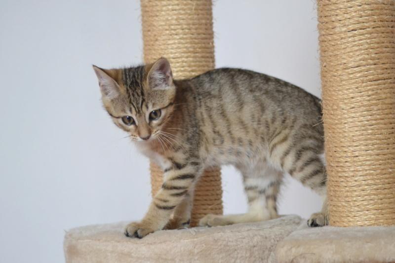 Orlan, chaton mâle brown tabby, né le 12.04.2018 Dsc_0142