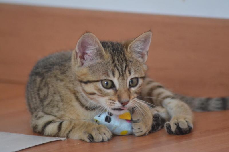 Orlan, chaton mâle brown tabby, né le 12.04.2018 Dsc_0147