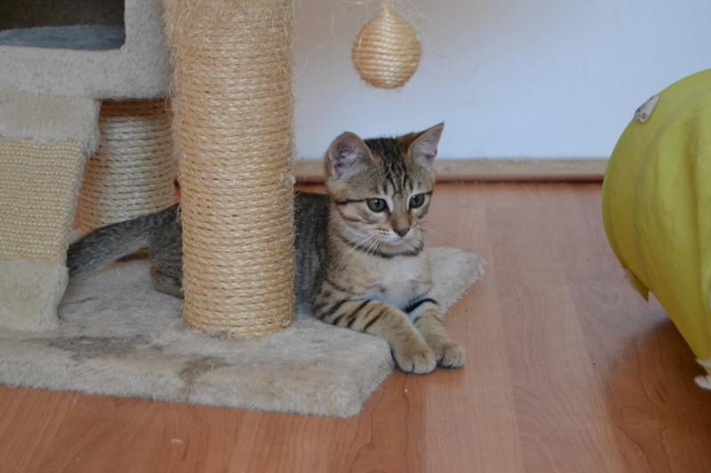Orlan, chaton mâle brown tabby, né le 12.04.2018 Dsc_0156