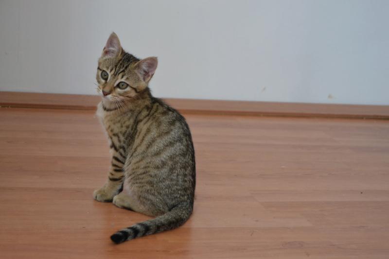 Orlan, chaton mâle brown tabby, né le 12.04.2018 Dsc_0157