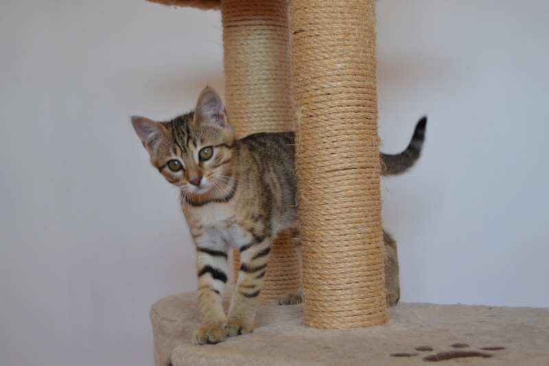 Orlan, chaton mâle brown tabby, né le 12.04.2018 Dsc_0160