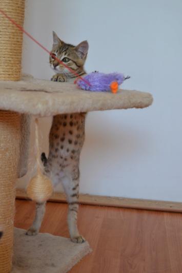 Orlan, chaton mâle brown tabby, né le 12.04.2018 Dsc_0161