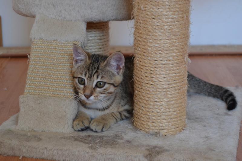 Orlan, chaton mâle brown tabby, né le 12.04.2018 Dsc_0162