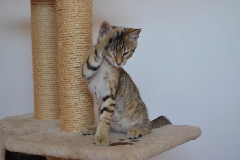 Orlan, chaton mâle brown tabby, né le 12.04.2018 Dsc_0163