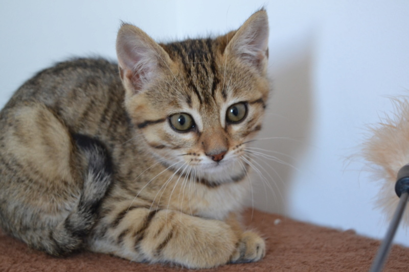 Orlan, chaton mâle brown tabby, né le 12.04.2018 Orlan110