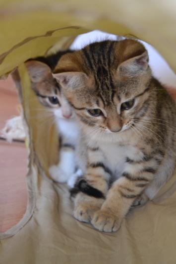 Orlan, chaton mâle brown tabby, né le 12.04.2018 Orlan310