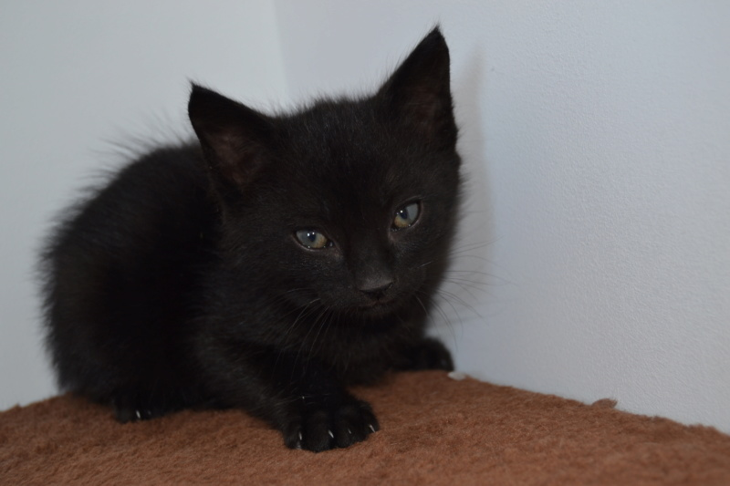 Oudini, chaton mâle noir, né le 12.04.2018 Oudini10