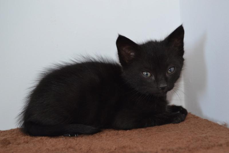 Oudini, chaton mâle noir, né le 12.04.2018 Oudini11
