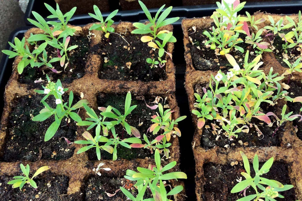 Alyssum Seeds Started Alyssu11