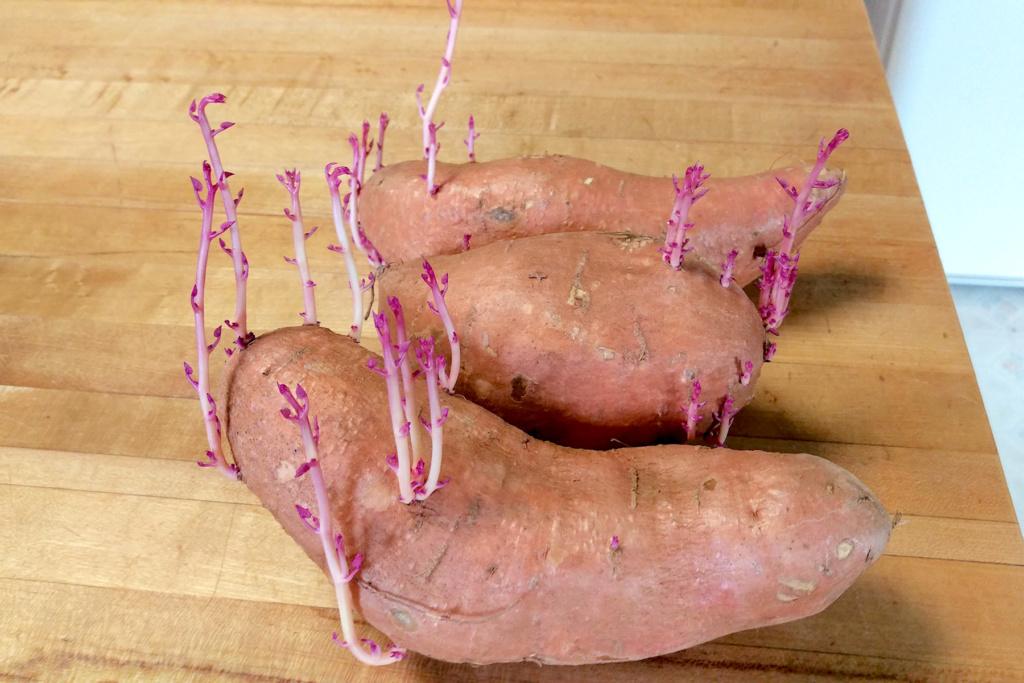 Sweet Potatoes Stored Too Long Imag4010