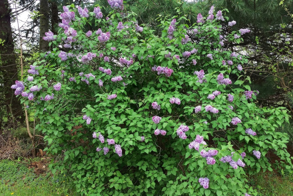N&C Midwest:  May 2019 Lilacs10