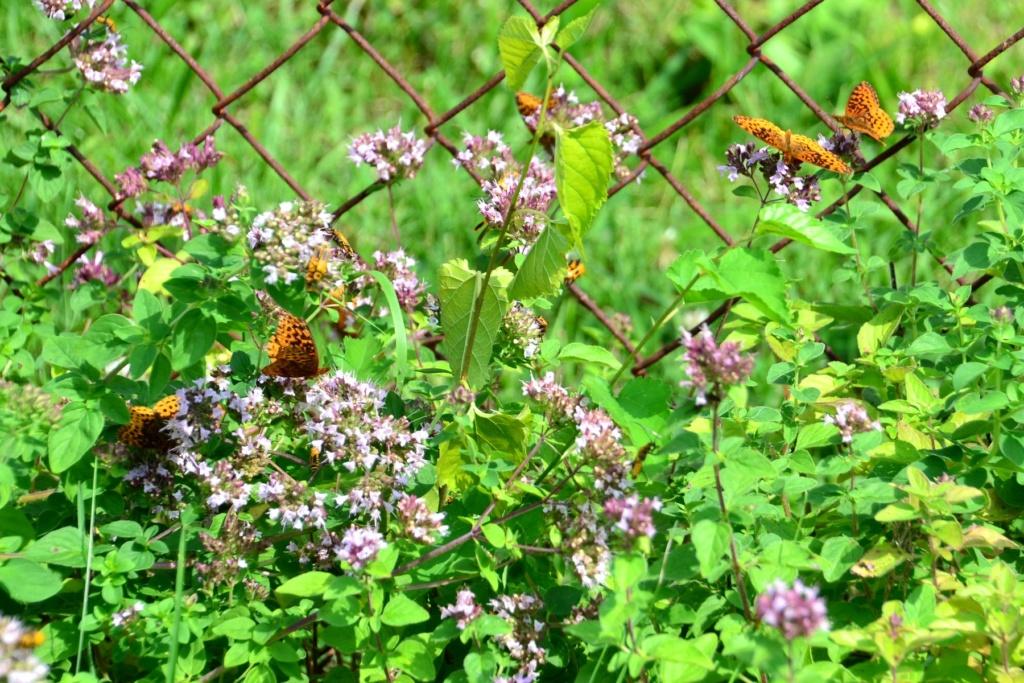 Why I love Oregano in the garden. Meadow10