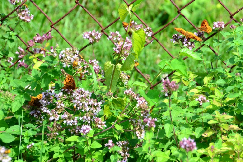 Why I love Oregano in the garden. Meadow11