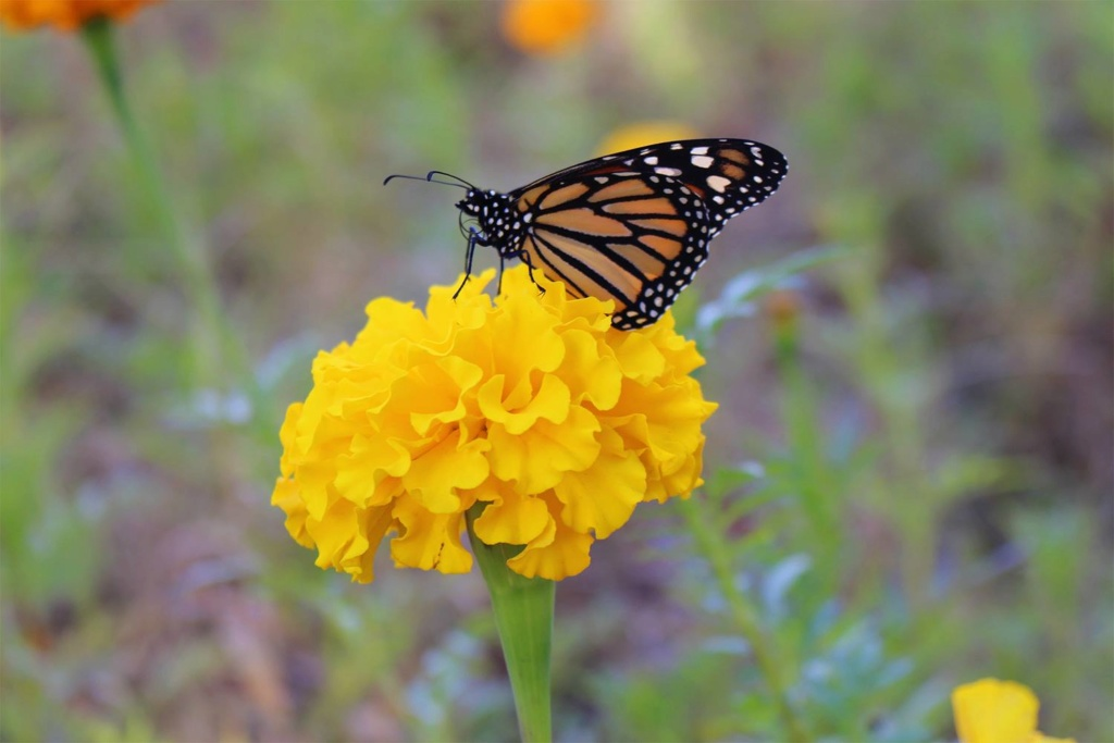 Butterfly/Pollinator Havens - Which plants are your favorite to cultivate? - Page 4 Monarc16