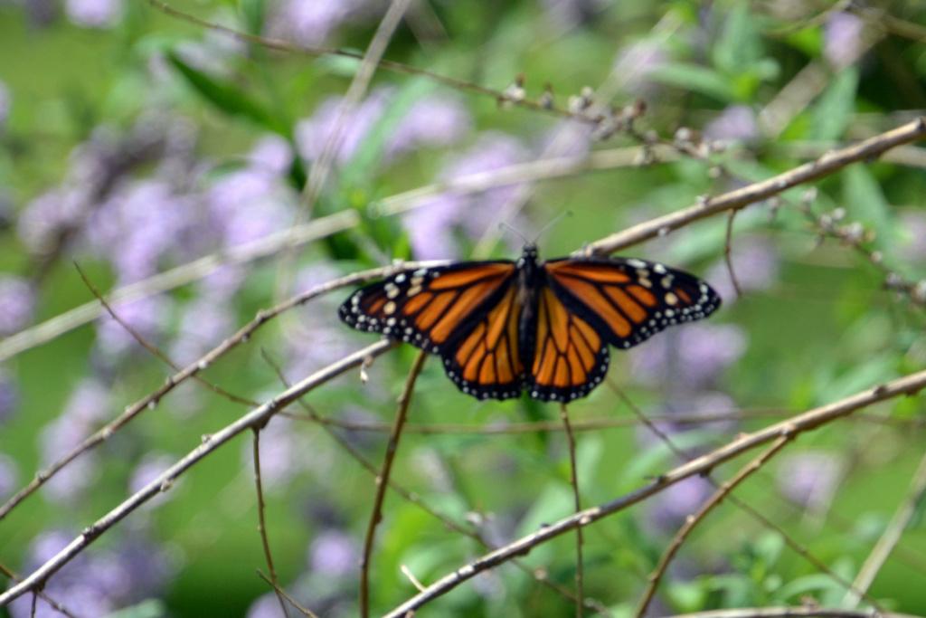 Monarch Butterflies - Page 2 Monarc17