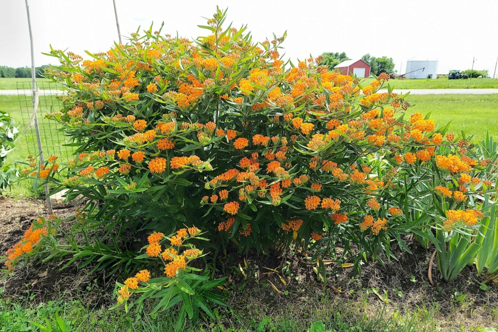 Monarch Butterflies - Page 2 Orange12