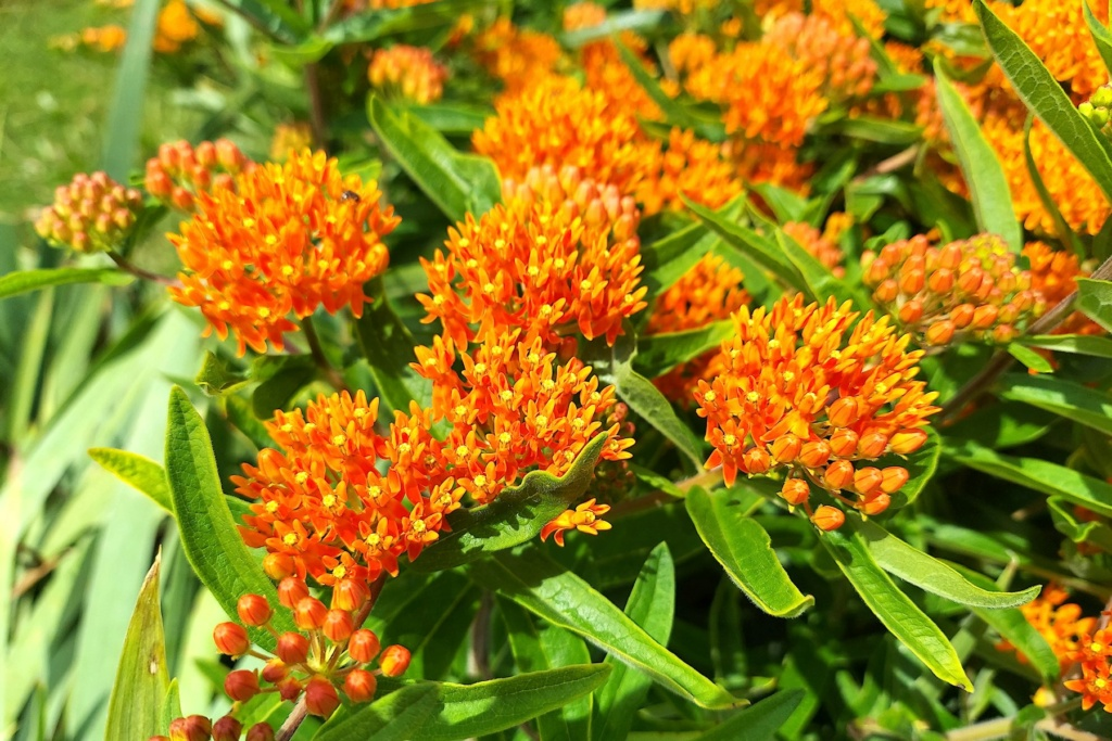 Monarch Butterflies - Page 2 Orange13