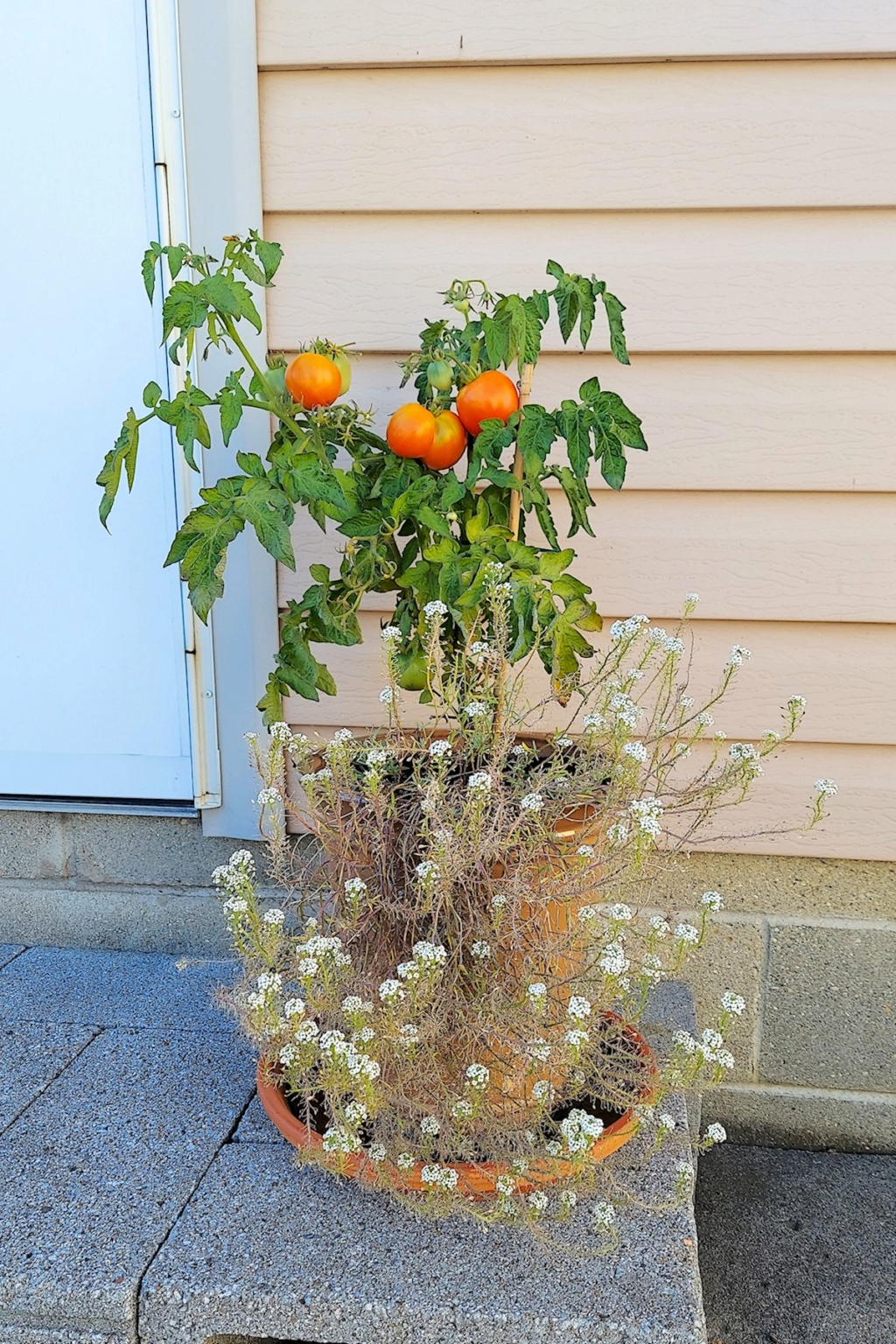 Patio Tomatoes at the Kitchen Door Patio_12