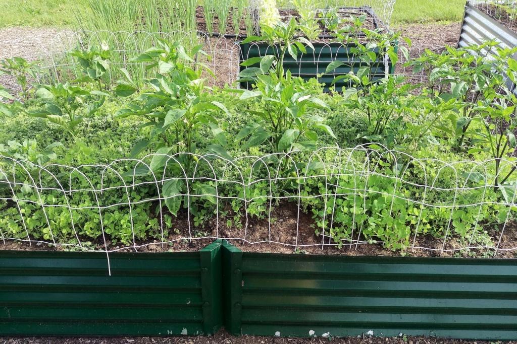 OG Living Mulch Experiment Pepper18