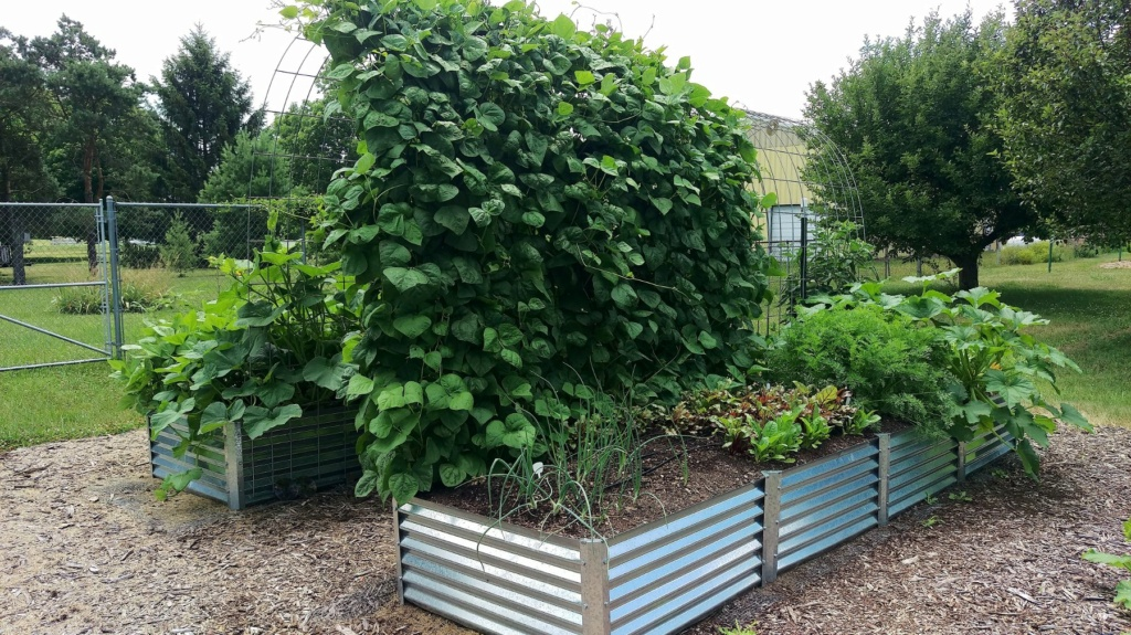 trellis & Green Beans   Pole_b15