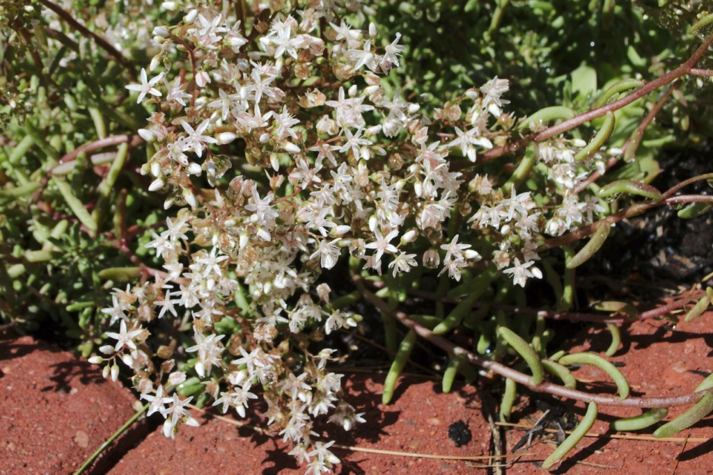 Alyssum Seeds Started Red_ic11