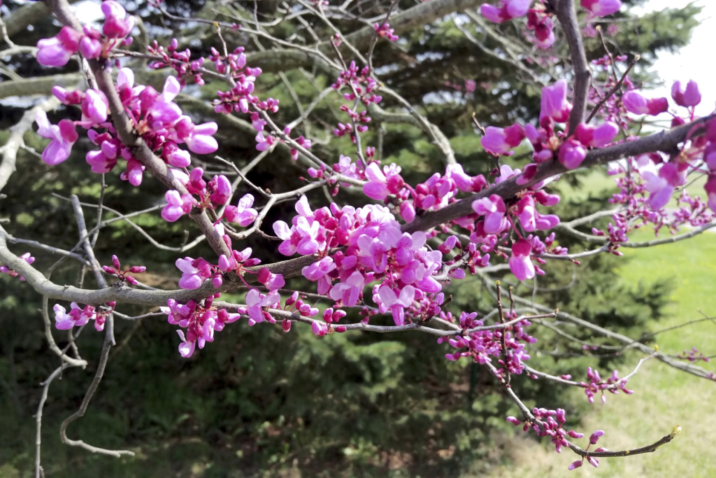 new eastern redbud looks like it might need attention Redbud15