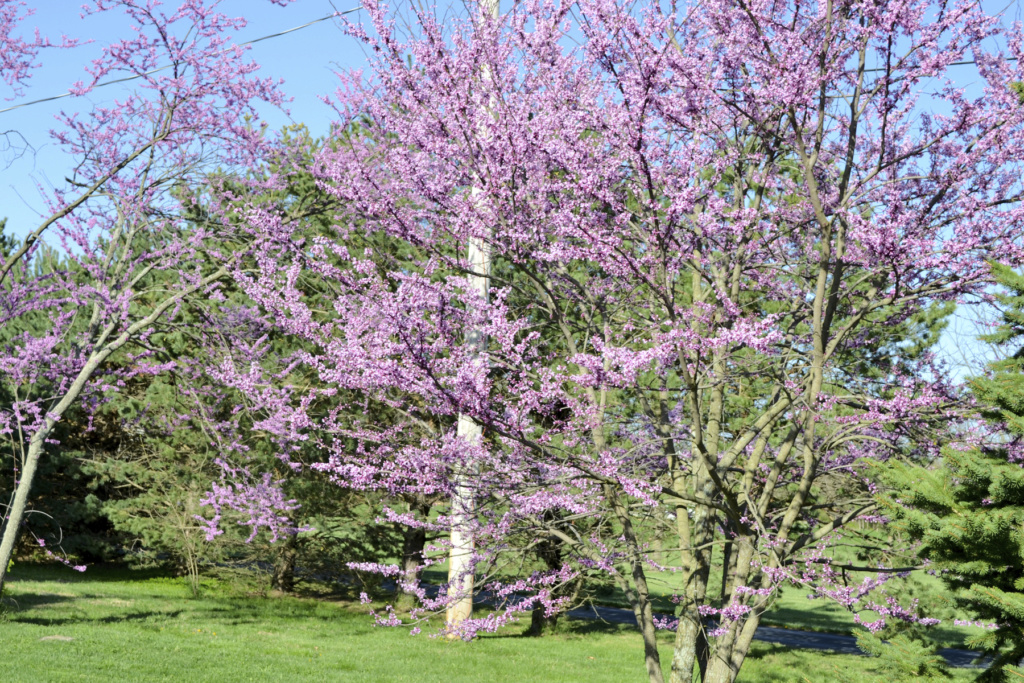 new eastern redbud looks like it might need attention Redbud16