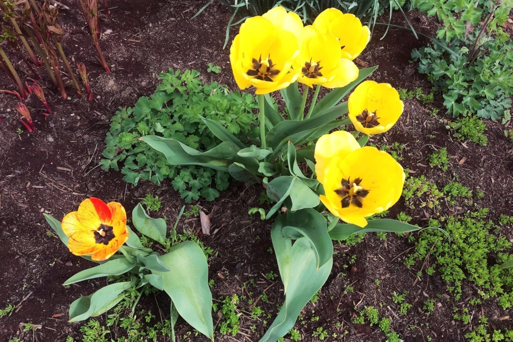 N&C Midwest:  April is here! 2019 Tulips11