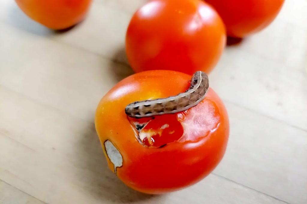 Worm On Tomato? Worm_o10
