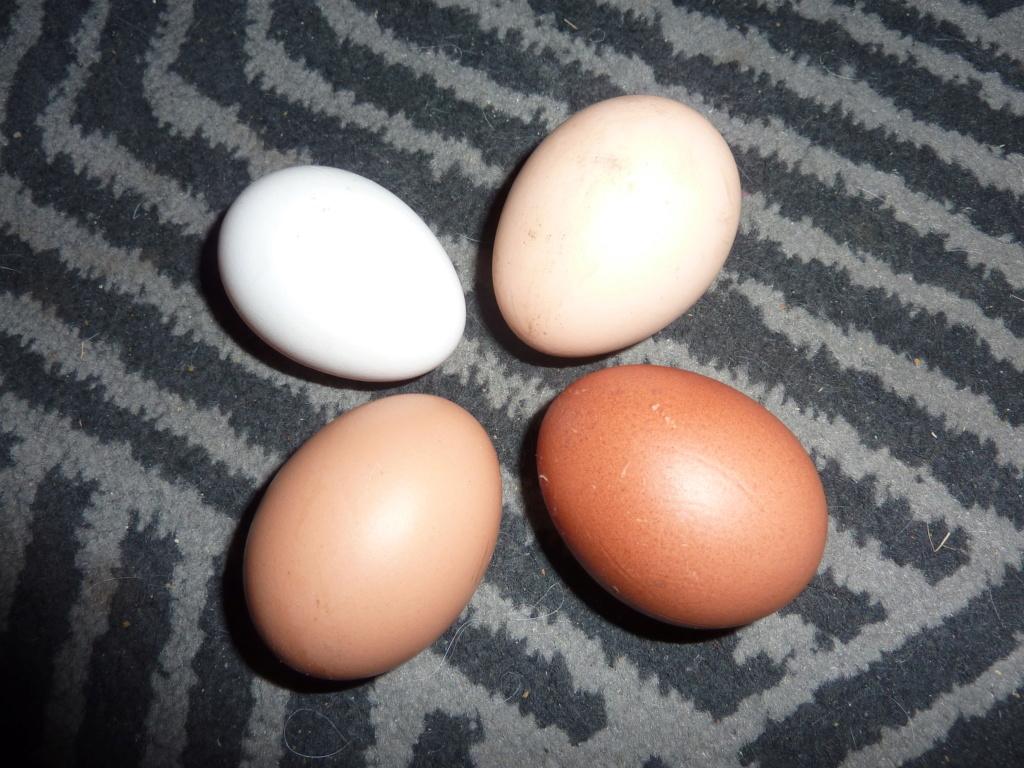 Léonie37 et ses poules P1040618