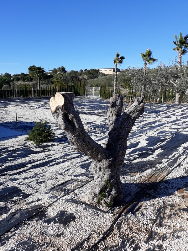 Trasplante de olivos (Valencia) 20190113