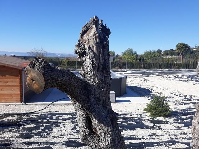 Trasplante de olivos (Valencia) 5c39f811