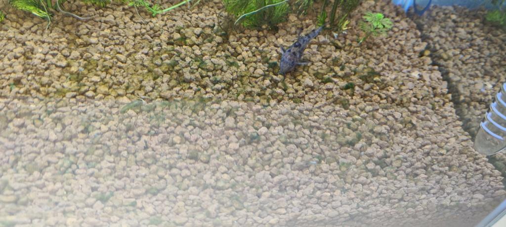 Crevette japonica mal en point. 20210228
