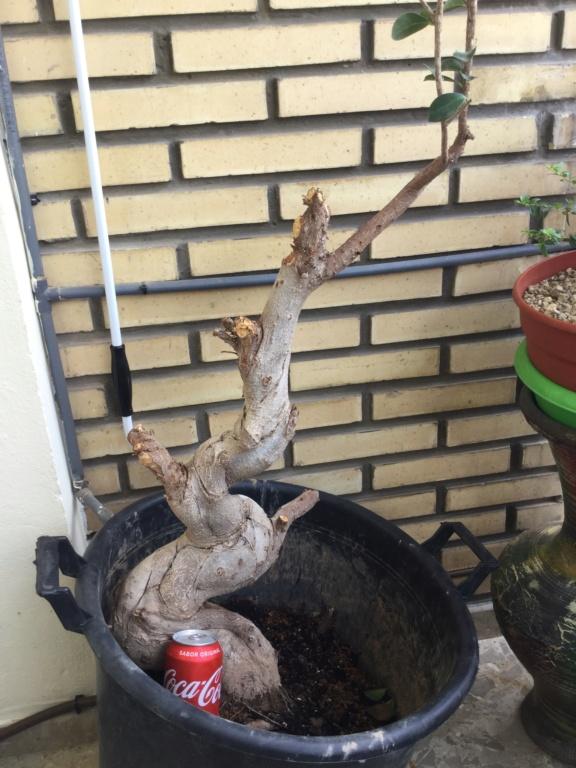 Bonsai Ficus  recuperado basura Image10