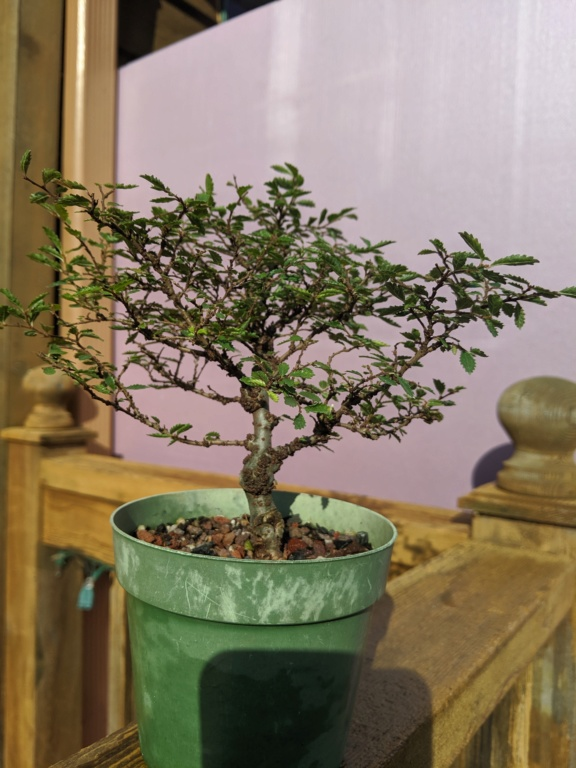 Chinese Elm Question Img_2010