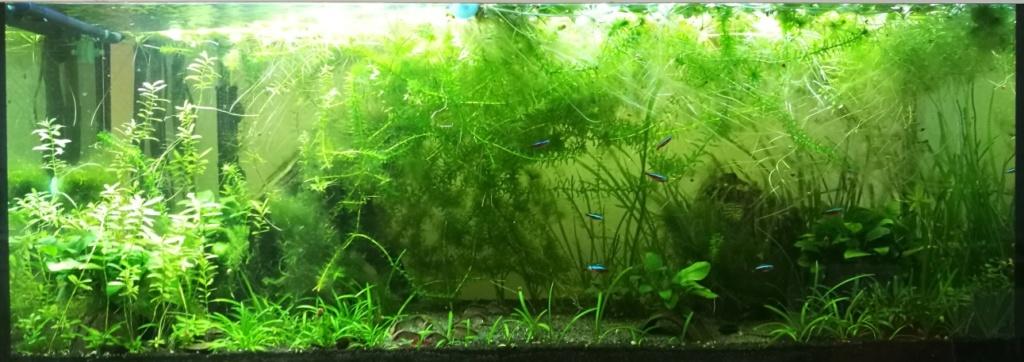 Benakath - Aquarium n°1 - 240L 09_apr10