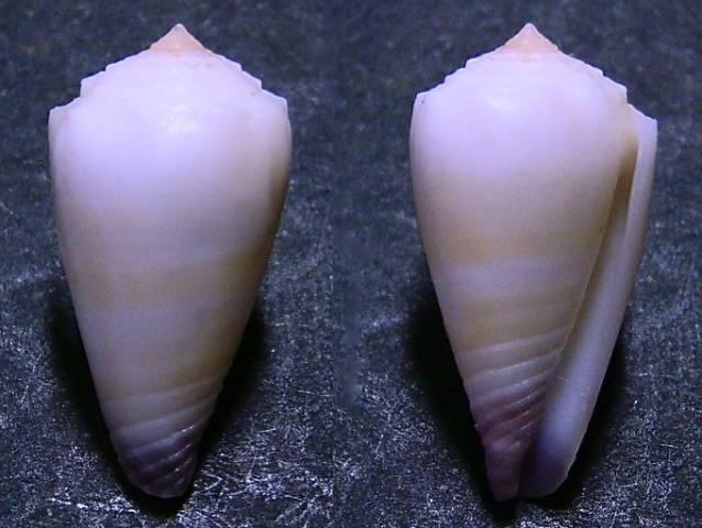 Conus (Lividoconus) muriculatus GB Sowerby I, 1833 Conus_10
