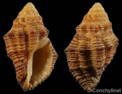 Ergalatax crassulnata - (Hedley, 1915) Cronia10