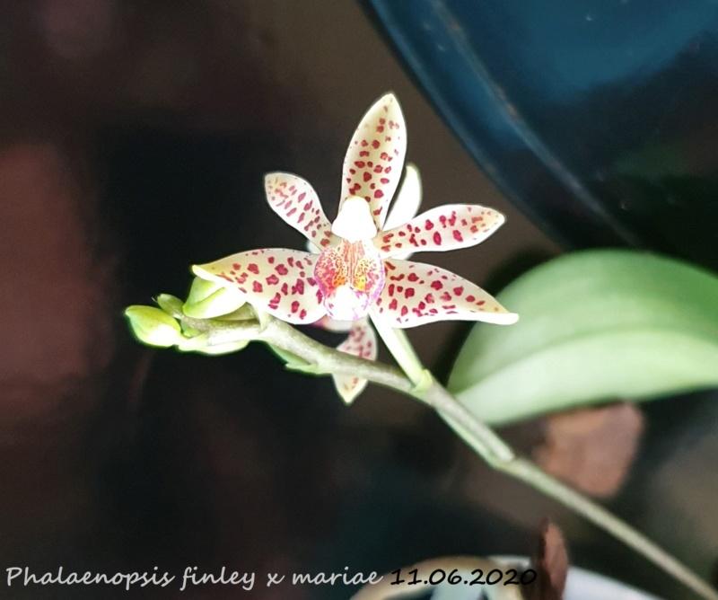 Phalaenopsis finley x mariae - Seite 2 20200612