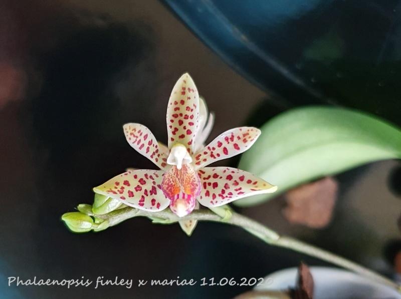 Phalaenopsis finley x mariae - Seite 2 20200613