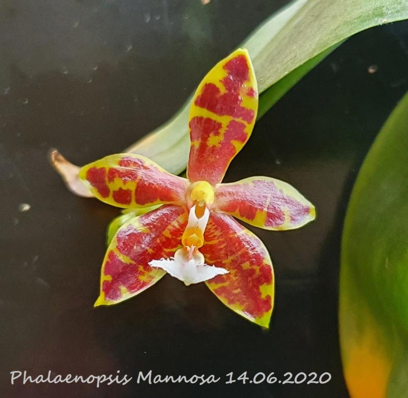Phalaenopsis mannii x venosa (Mannosa) 20200619