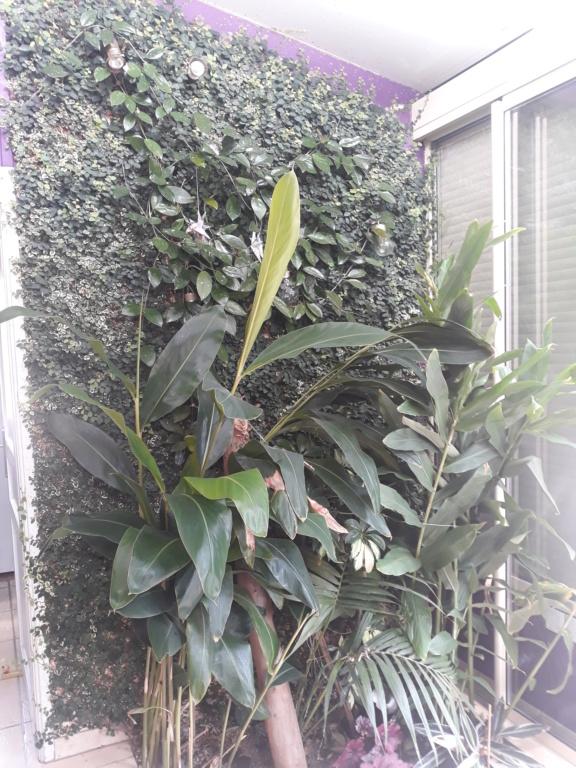 Ficus repens ou pumila : sans limites !! 20200816