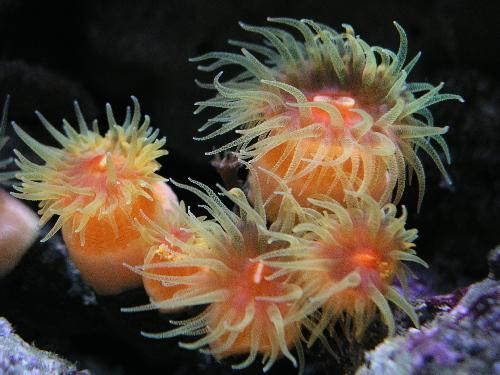 Coraux non-symbiotiques Dendro10
