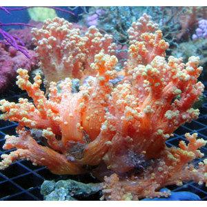 Coraux non-symbiotiques Sclero10