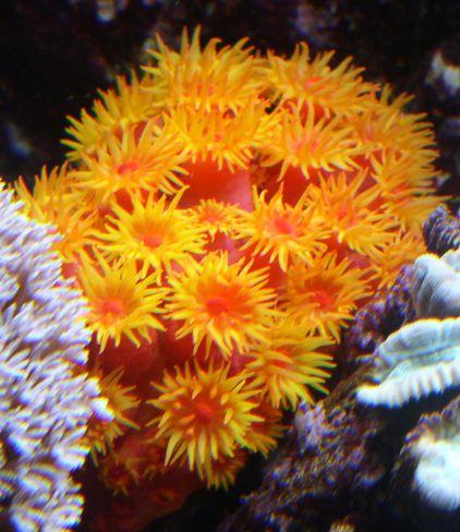 Coraux non-symbiotiques Tubast10