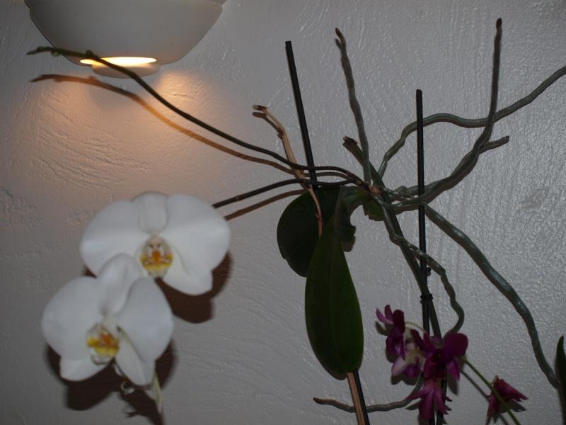 """Un """"rejeton"""" sur une tige d'orchidée - Page 2 P2052312"""