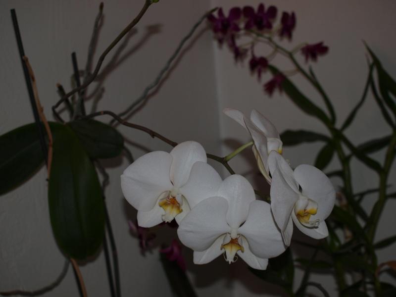 """Un """"rejeton"""" sur une tige d'orchidée - Page 2 P2052313"""