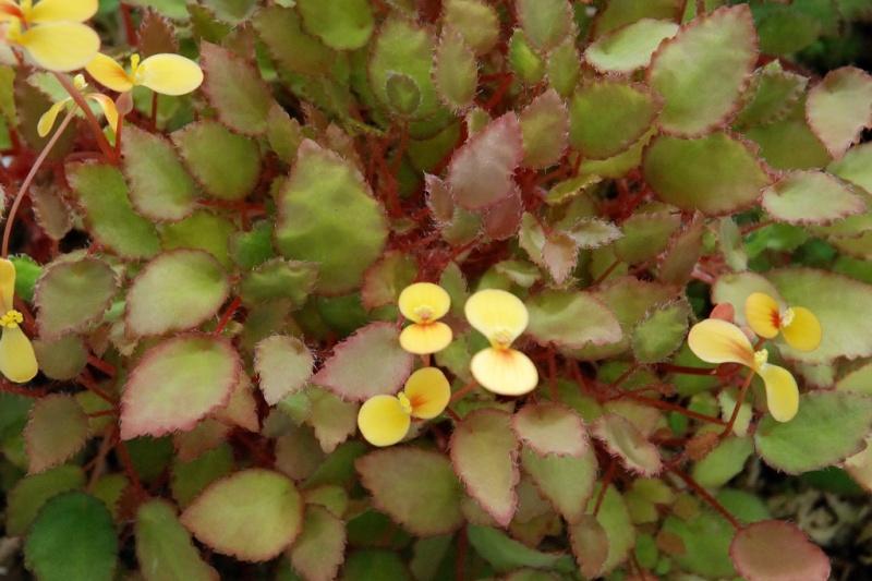 B. scutifolia Mai08631